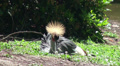 A tired Grey crowned crane wakes up HD Footage