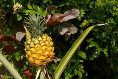 young pineapple growing - stock photo
