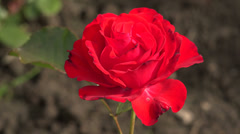 Red rose. Dissipated the Bud. 4K. Stock Footage