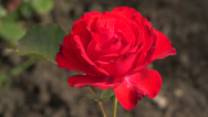 Stock Video Footage of Red rose. Dissipated the Bud. 4K.