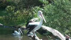 Black-white Australian Pelicans come together in solidarity Stock Footage