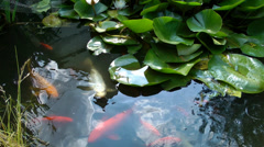 Coy Carp and Gold Fish on surface of pond Stock Footage