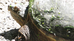 Common snapping turtle Stock Footage