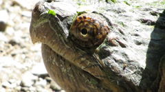 Snapping turtle with audio Stock Footage