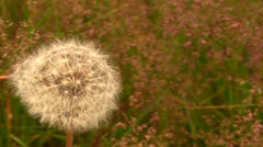 dandelion and wind - stock footage