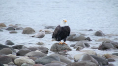 Bald eagle calling and screeching Stock Footage