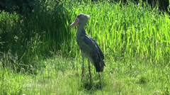 A shoe-billed stork is moving a bit Stock Footage