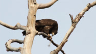 Stock Video Footage of Juvenile bald eagle feeding on intestine