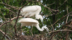 Two white herons mating in a nest Stock Footage