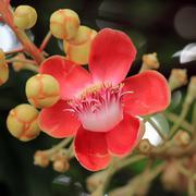 cannonball tree flower - stock photo
