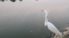 Great white egret by the water, aquatic bird fishing Stock Footage