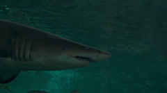 Menacing shark passes very close to camera. - stock footage