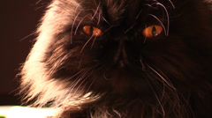 Beautiful yellow eyes of a Persian black cat Stock Footage