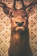adult deer head trophy on the wall. - stock photo