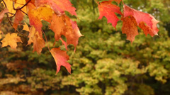 Stock Video Footage of Autumn Maple Tree Leaves Blowing in the Wind
