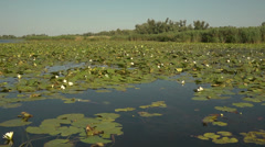 White lilies in bloom in the beautiful delta of the Dnieper River in Ukraine Stock Footage