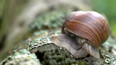 Apple snail - Helix pomatia Stock Footage