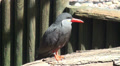 Inca tern full body close up Footage