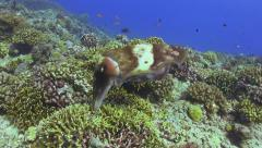 Cuttlefish Laying Eggs on a Beautiful Coral Reef Stock Footage