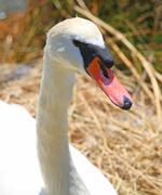 Elegant swan female with very long necks and beaks Stock Photos