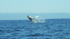 Breaching Humpback Whale mammal coastal waters Pacific Ocean, USA Stock Footage
