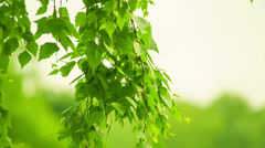 Birch swaying. Blurred background. HD 1080. - stock footage