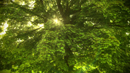 Stock Video Footage of Beautiful Sunbeams through the tree. HD 1080.