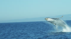 Breaching Humpback whale aquatic mammal, coastal waters Pacific ocean, USA Stock Footage