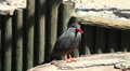 Inca tern close up resting in the sun Footage