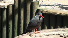 Inca tern close up resting in the sun Stock Footage