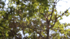 Wandering spider web Stock Footage