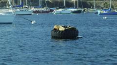 Sea lion mammal Harbour Buoy Monterey, California, USA - stock footage