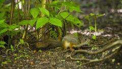 Beautiful Squirrel on the ground. HD 1080. - stock footage