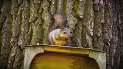 Beautiful Squirrel on the feeder eating Nut. HD 1080. - stock footage