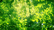 Stock Video Footage of Sunshine through the trees. HD 1080.