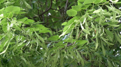 Stock Video Footage of a tilia cordate or small-leaved lime tree gh4 4k