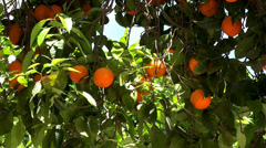 Orange tree with a fruit - stock footage