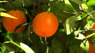 Stock Video Footage of Orange tree with a fruit