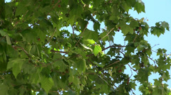 Leaves and fruits of a London planetree. Barcelona, Spain. Stock Footage