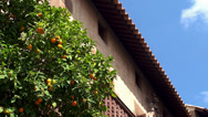 Stock Video Footage of Orange tree with a fruit in the Spain village.