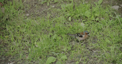 A small fringilla coelebs bird hopping in the ground fs700 4k raw odyssey 7q Stock Footage