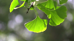 Ginkgo leaves in forest in the sunlight Stock Footage