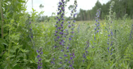 Blue weed flowers in the garden fs700 4k raw odyssey 7q Stock Footage