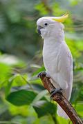 Sulphur-crested cockatoo Stock Photos