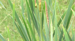 Bullrush  grass Stock Footage
