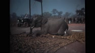 An elephant standing on net and his leg tied down Stock Footage