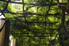 tree canopy, villa cimbrone, ravello, province of salerno, campania, italy - stock photo
