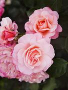 close-up of rose flowers, villa cimbrone, ravello, province of salerno, campa - stock photo