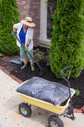 senior woman mulching around arborvitaes - stock photo