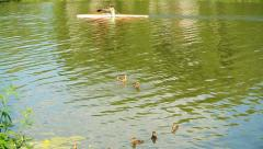 Ducks with ducklings and kayak - stock footage